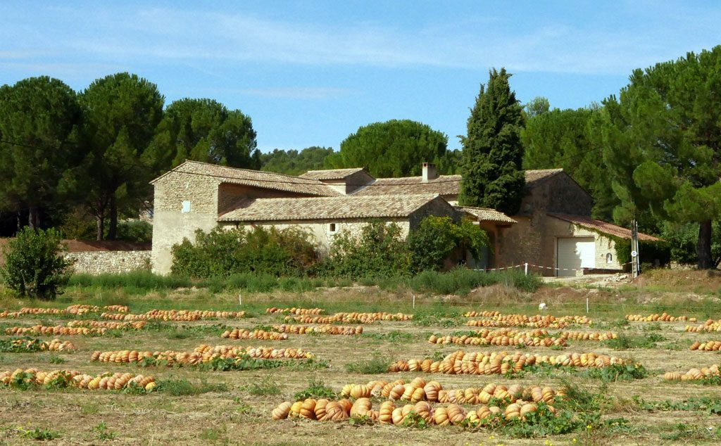Pumpkin patch in Provence